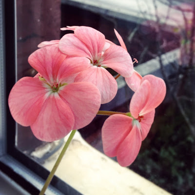 Geranium in winter