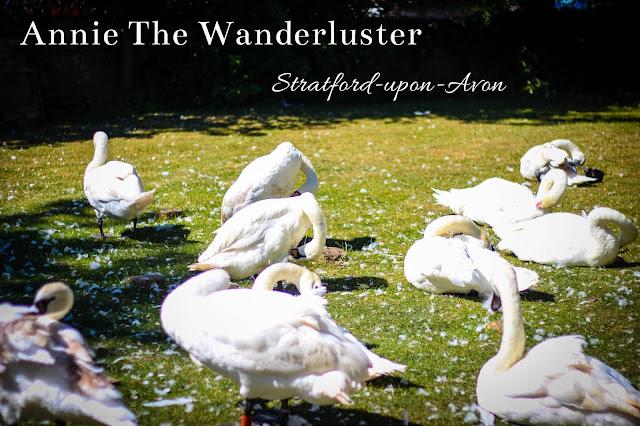 柯茲沃小鎮史特拉福Stratford-upon-Avon swan