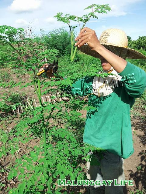 how-to-prune-moringa-plant