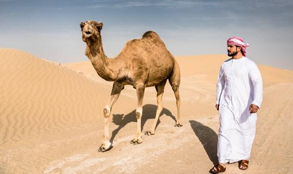 deve dhe gamile në arabinë saudite