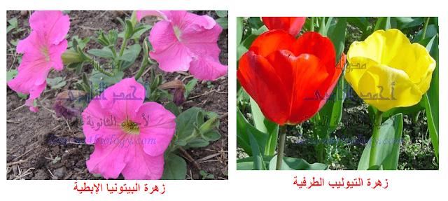 زهرة البيتونيا الإبطية- زهرة التيوليب الطرفية