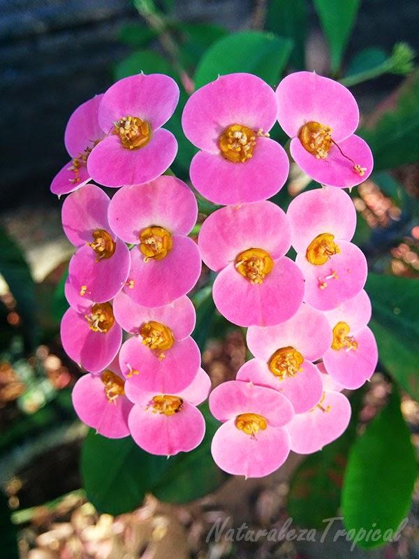 Variedad rosada de la flor Coronita de Cristo, nombre popular de Euphorbia milii