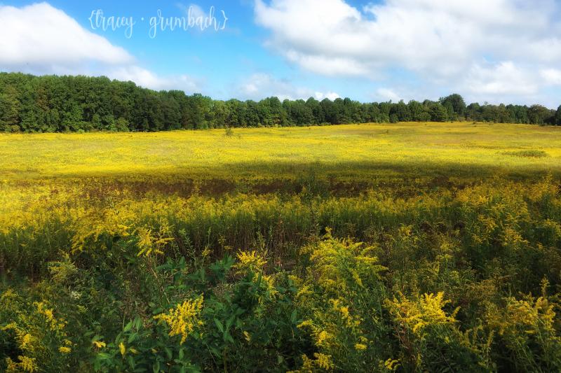 meadow of yellow golden rod at Longwood Garden