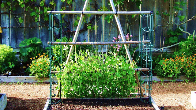 Fresh Spring Peas Climb a Trellis in The Oracle's Organic Kitchen Vegetable Garden, with Cutting Flowers and Grape Vines in the Background.