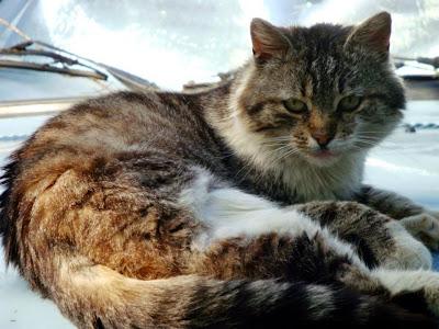 pisica se odihneste pe capota masinii