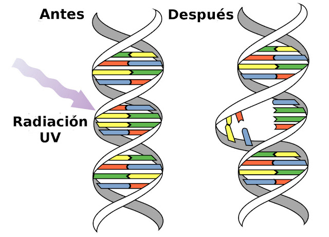 #Salud Aseguran que los rayos UV dañan el ADN
