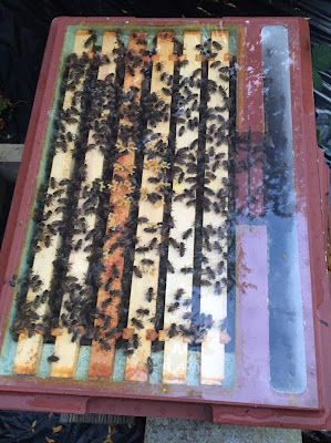 Nucleus of bees, six frame nuc