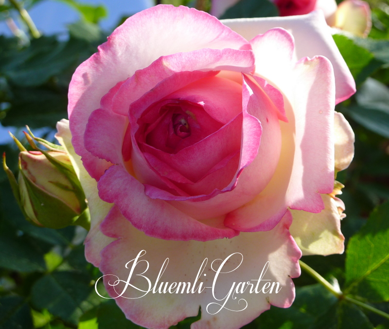 bluemli garten rosen lavendel glockenblumen romantik. Black Bedroom Furniture Sets. Home Design Ideas