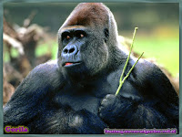 gambar gorila