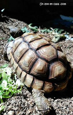 Tortuga argentina adulta