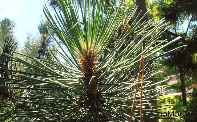 El más oscuro de los pinos el Pino negro Pinus uncinata