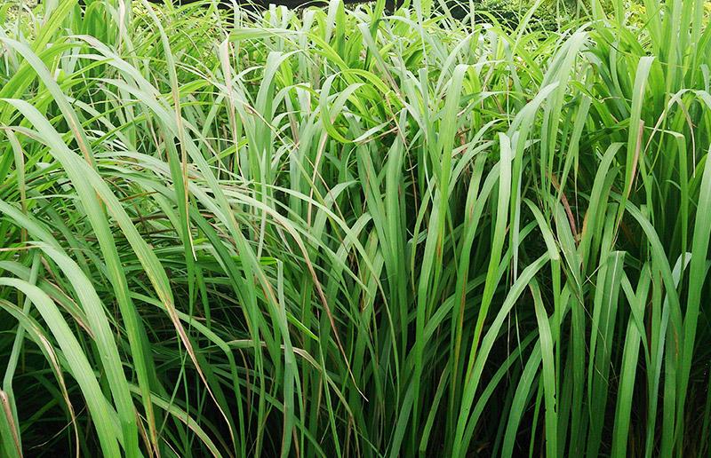7 plantas que vão afastar os insetos (principalmente mosquitos!) da sua casa!