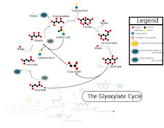 Siklus Glioksilat: Pengertian, Proses Dan Fungsinya Lengkap