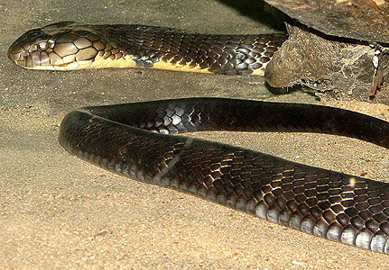 Snake Eyes Hd Wallpapers Snakes Biggest King Cobra Snake