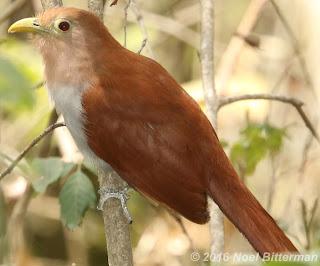 Squarrel Cuckoo
