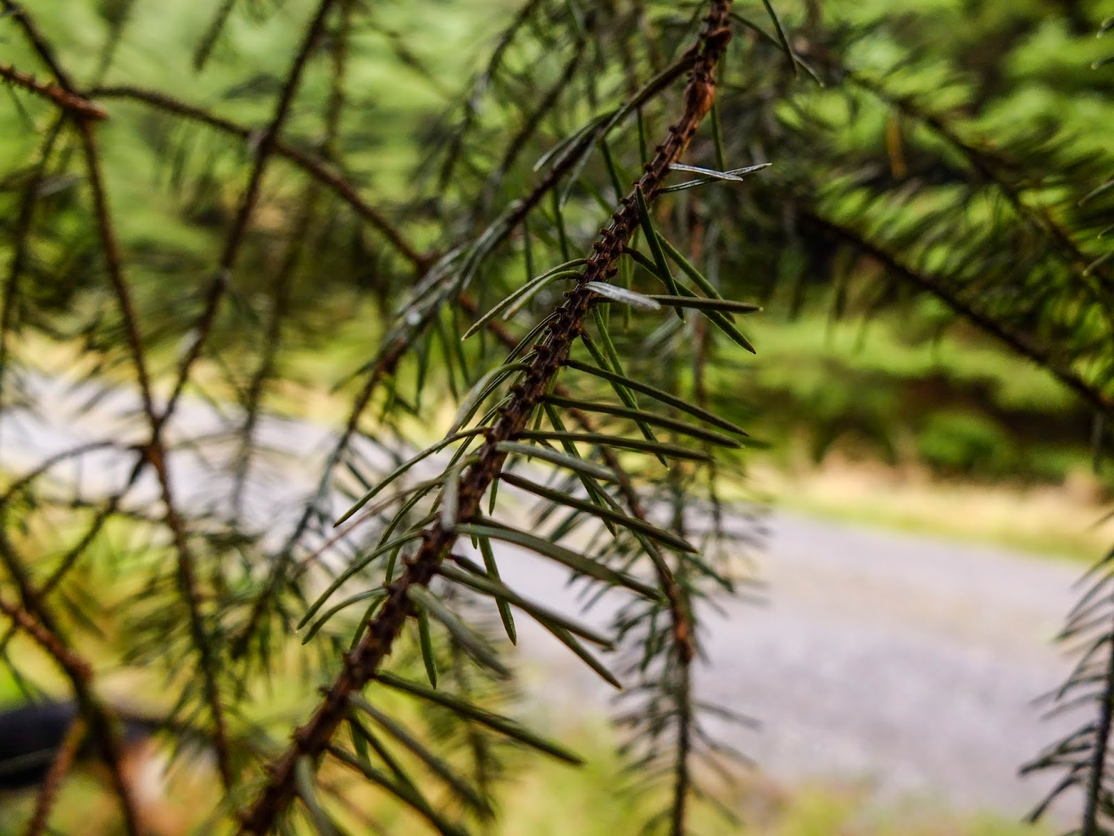 A close up of pine needles on branches inside a forest.