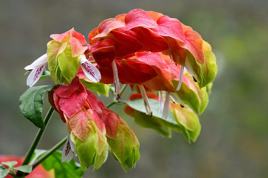 shrimp plant flower