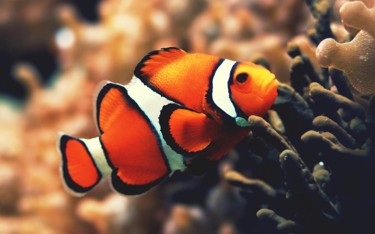 Ikan Nemo Ikan Nemo Ikan Badut
