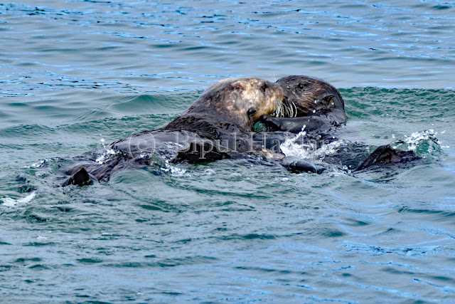 A pair of sea otter kissing