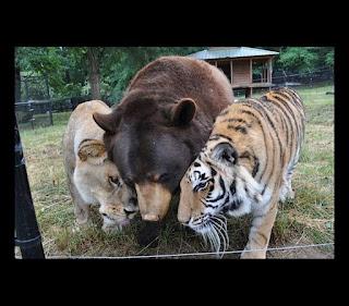 Nos EUA, urso, leão e tigre são uma família