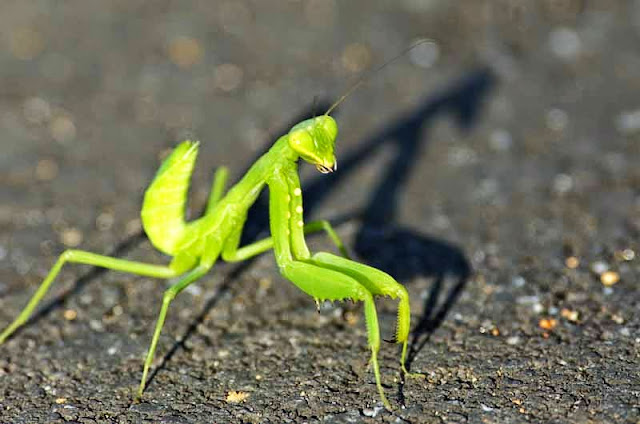 praying mantis, sunset