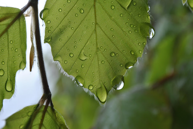 Green Leaf With Water Dew Drops HD Wallpaper