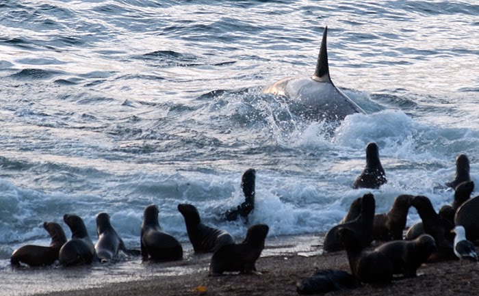 Orcas Season in Patagonia Argentina Peninsula Valdes
