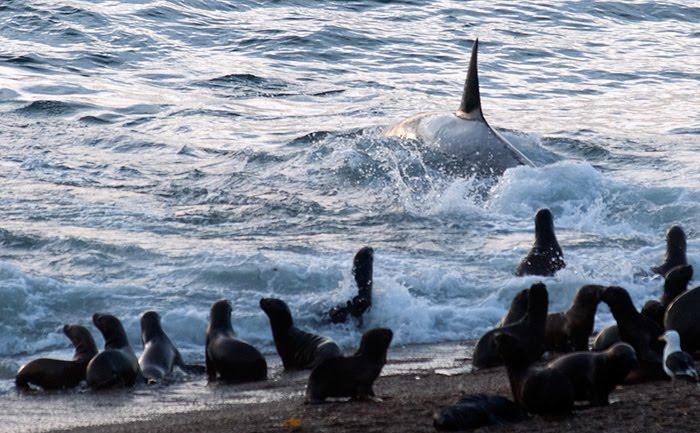 lobos marinos y orcas en punta norte peninsula valdes
