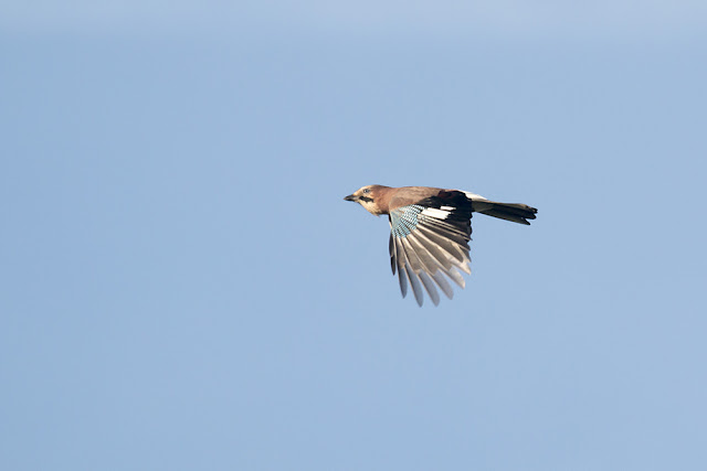 Jay in Flight
