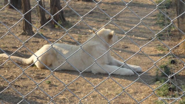 Filhote de leão no Lion Park - Joanesburgo