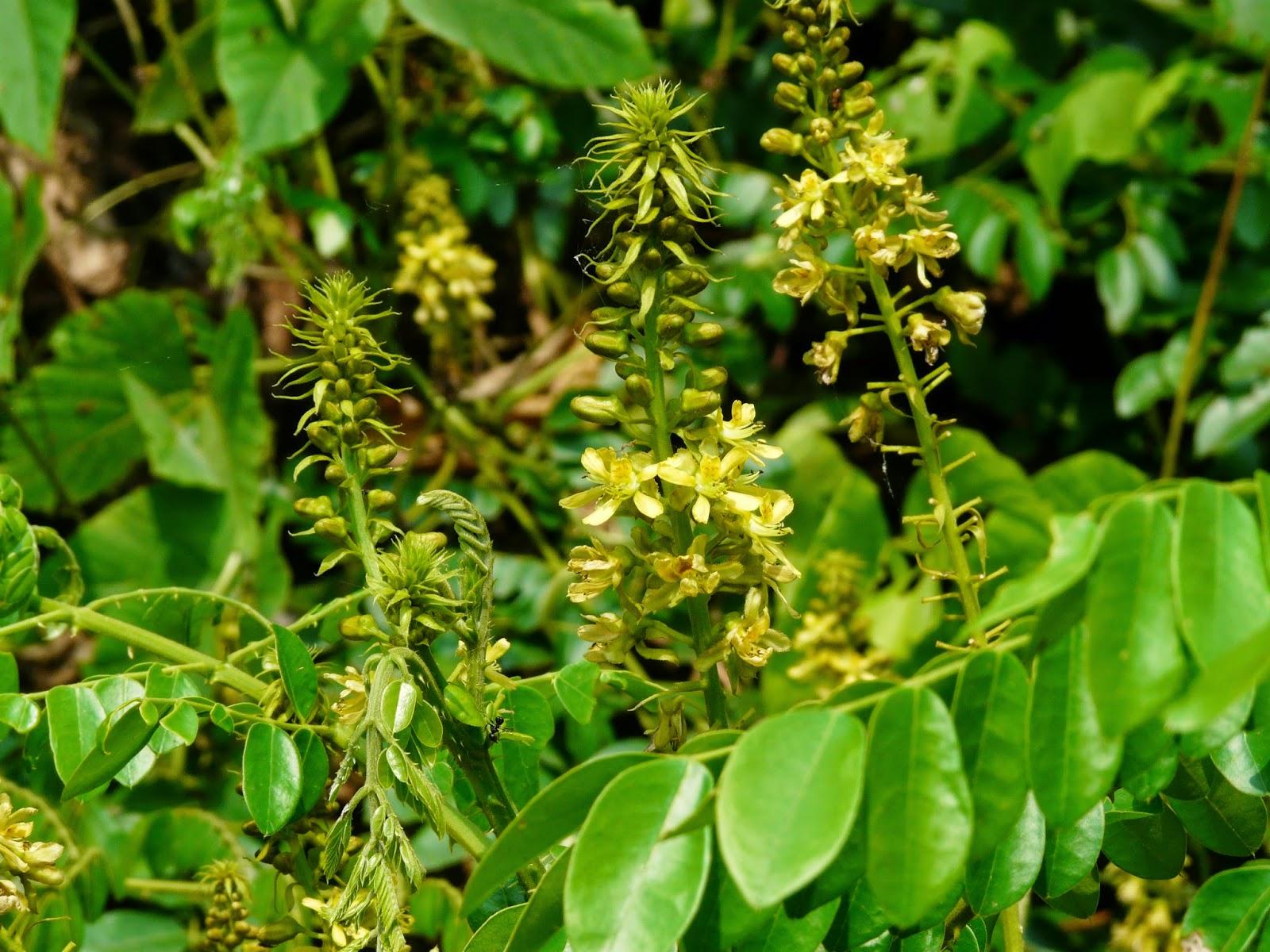 Caesalpinia bonducella - கழற்சிக்காய் (கச்சூரம்