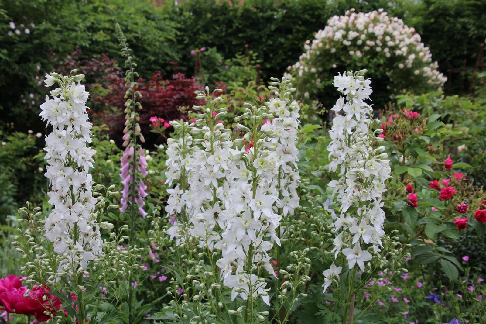 Trädgårdsriddarsporre Delphinium elatum 'Galahad'