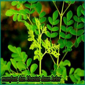 khaaiat dari daun kelor untuk kesehatan