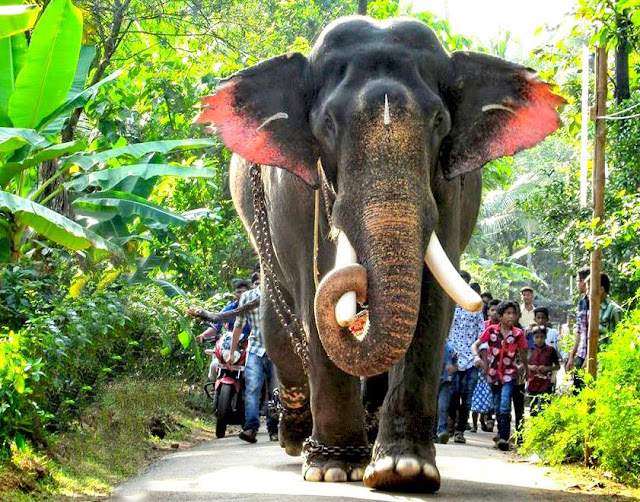 Male ♂ Asian elephant (Elephas maximus) Pampady Rajan at M.A. Thomas