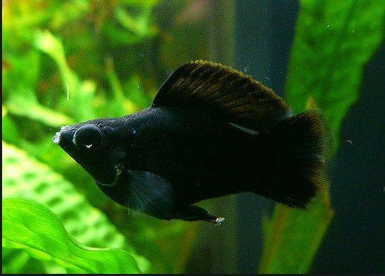 Ikan Black Molly Dan Cara Merawatnya