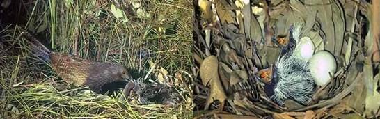 Mengetahui Tempat Sarang Burung Bubut Di Alam Liar Paling Akurat Kicau Mania