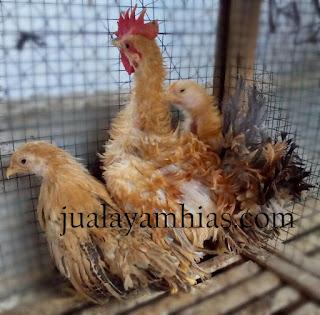 Ayam Kate Walik Usia Dewasa