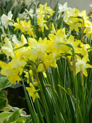 White and yellow daffodils at the Allan Gardens Conservatory 2018 Spring Flower Show by garden muses-not another Toronto gardening blog