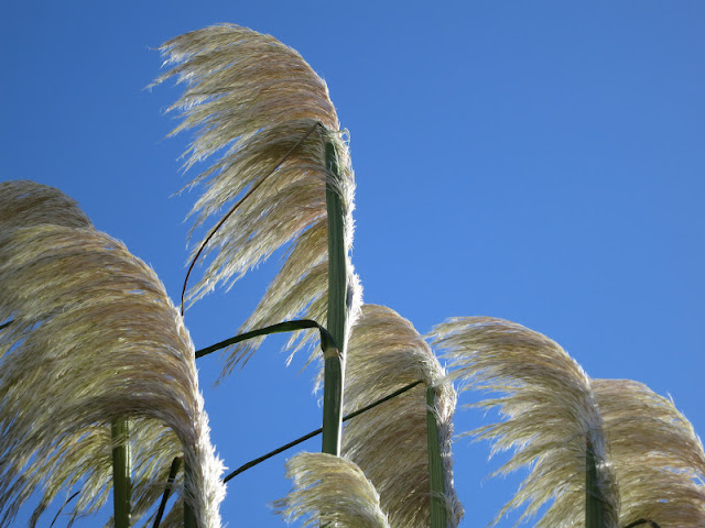 White flowers of pampas grass blowing against a blue sky