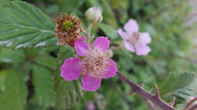 Rubus ulmifolius - Zarzamora