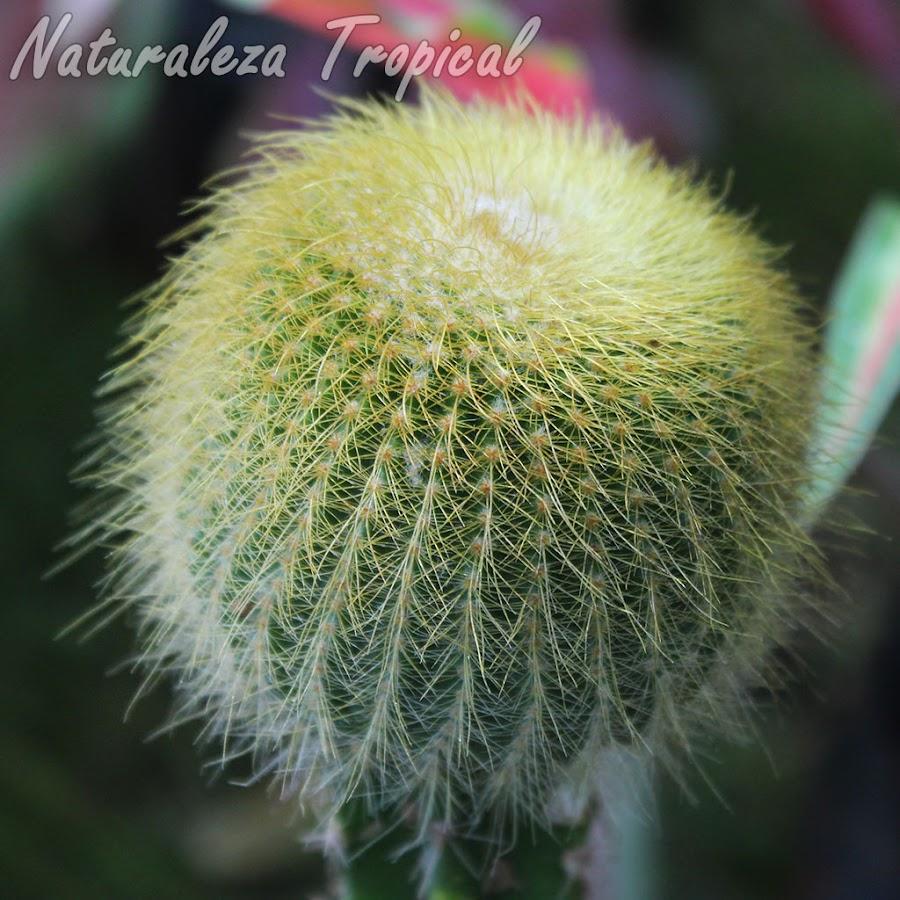 Vista del tallo del cactus Balón Dorado o Torre Dorada, Parodia leninghausii