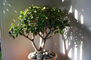 крассула толстянка денежное дерево