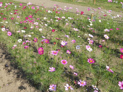 花博記念公園鶴見緑地のコスモス