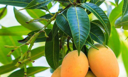 Mango Leafs