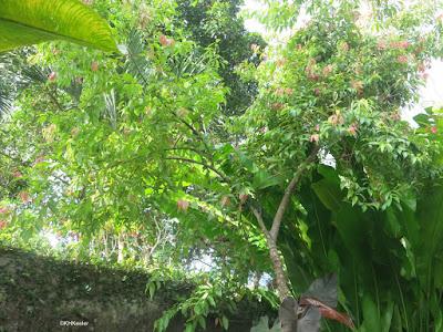 Chinese cinnamon, Cinnamomum cassia
