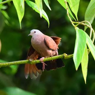 Ruddy Ground Dove Puriscal
