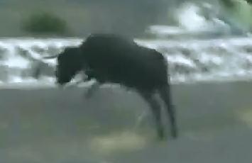 El Suicidio de un Toro