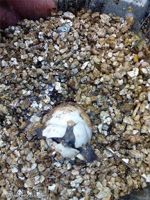 Cría de Glyptemys insculpta saliendo del huevo