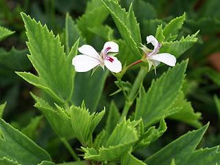 Pelargonium ×tricuspidatum - Pelargonium scabrum x Pelargonium lanceolatum