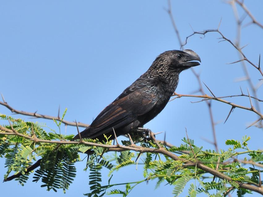 Anu, Aves da Família dos Cuculídeos